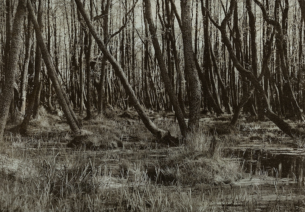 Leba-drzewa-na-bagnie.jpg